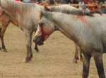 Horse-Fighting-News