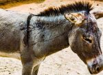 Tens of thousands of donkeys are bludgeoned to death EVERY MONTH at Chinese-run slaughterhouse!