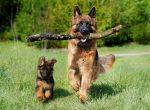 dog-schafer-dog-web