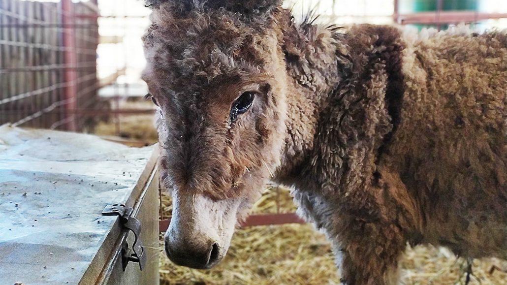 ejiao-donkey-1