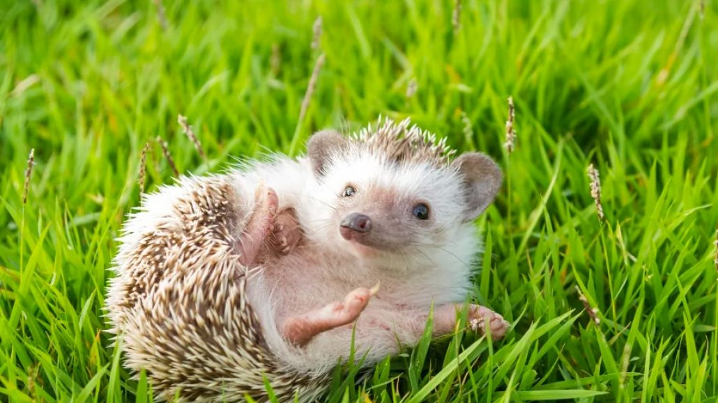hedgehog-8