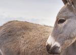kenya-donkeys