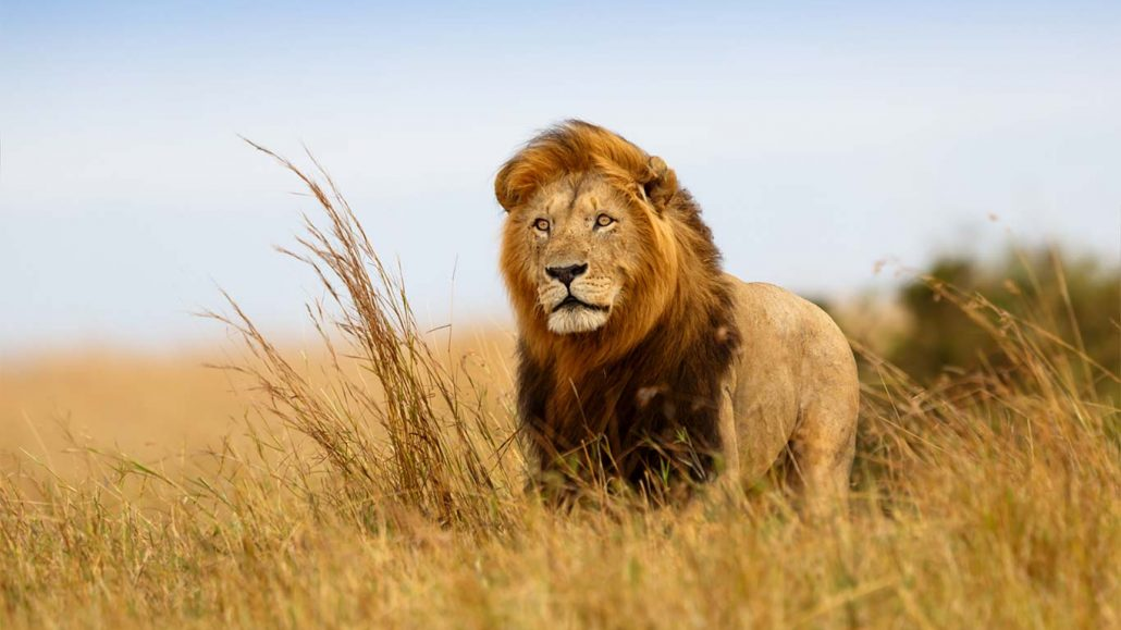 post-lion-web