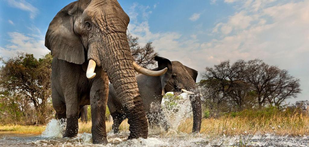 Botswana's safari tourism industry to fight elephant poaching 12