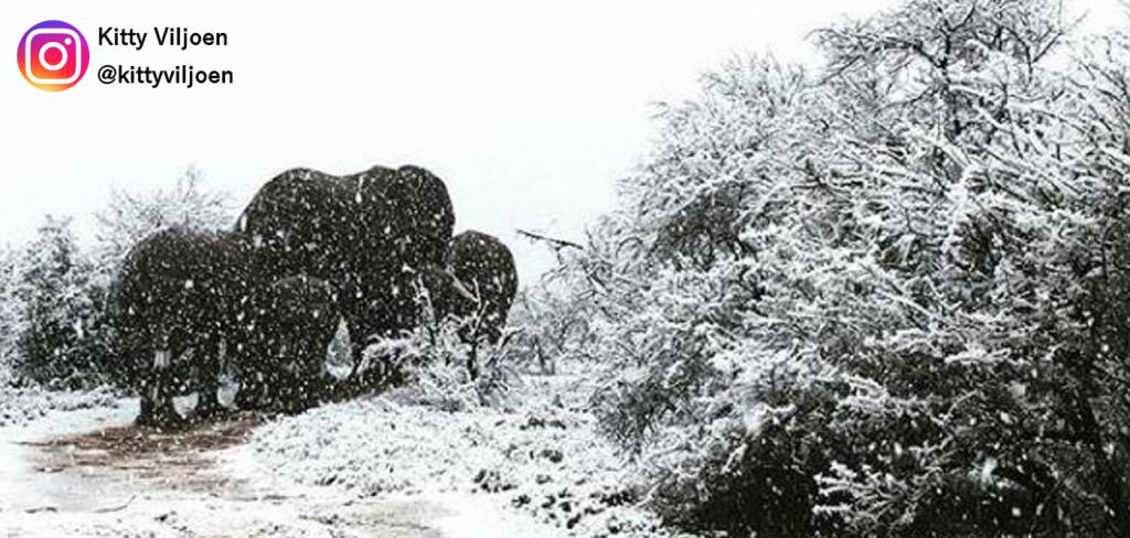 Elephants in the snow 13
