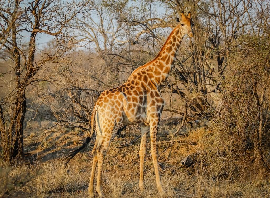 Giraffes 12