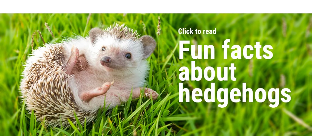 Mowers, pesticides, rapid urbanization and motor vehicles are DECIMATING little hedgehogs in England! 2