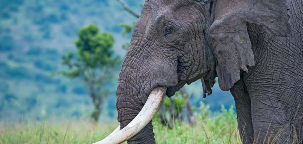 UK plans to ban ivory trade to end 'shame' of elephant poaching 10