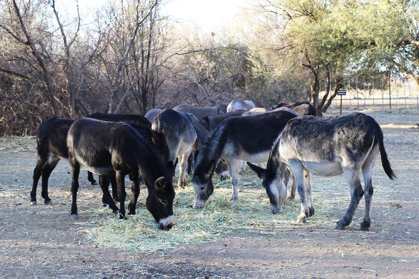 Coronavirus food shortages and now drought conditions threaten our rescued donkeys! 2