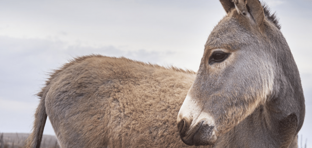 Study finds that donkeys will be wiped out in Kenya in the next 5 years 1