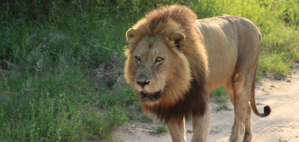 Lions rescued from horrifying conditions in Ukraine and set free in South Africa 11