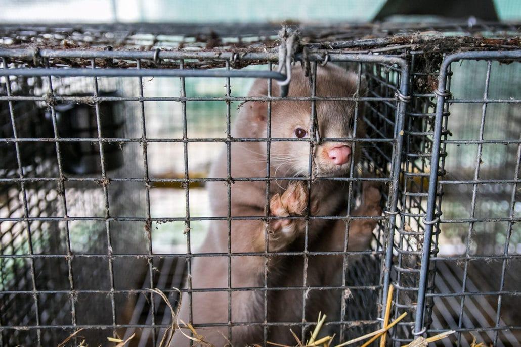 Denmark Plans To Kill 17 Million Mink After Coronavirus Mutation 6