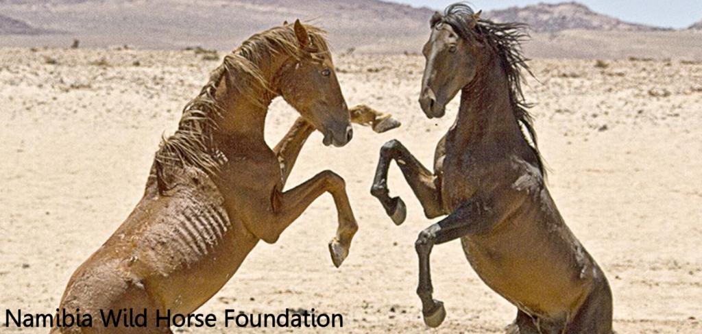 Namibia's wild desert horses face extinction 2