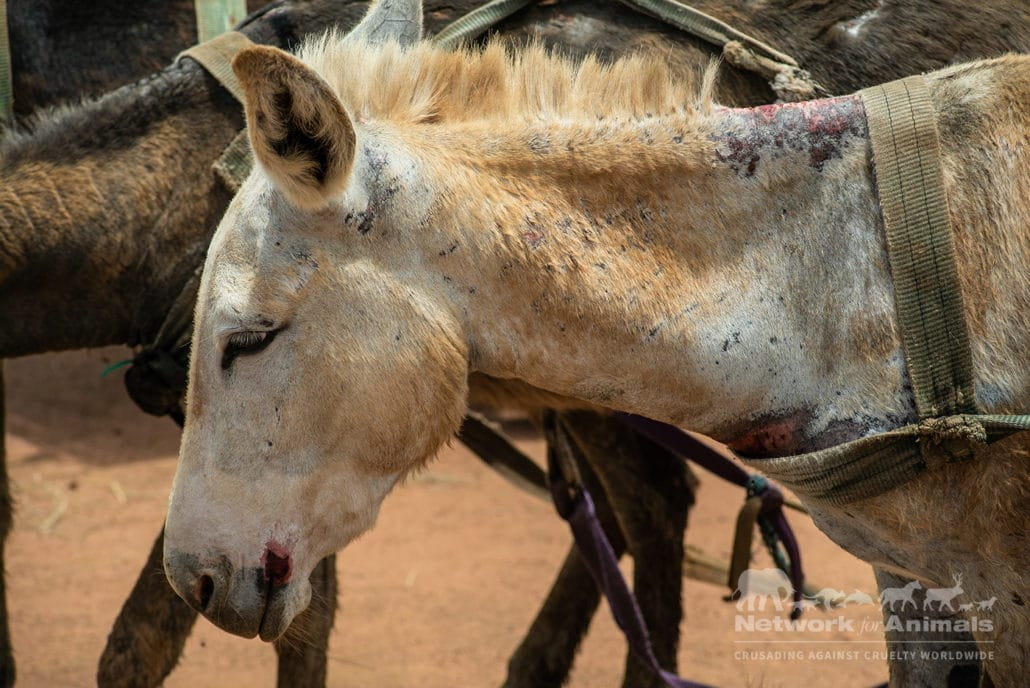 Silvia was dying… and crying for her foal! 22