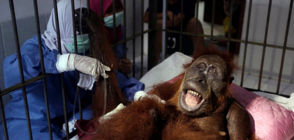 Orangutan shot 74 times with air gun pellets, loses her baby 3