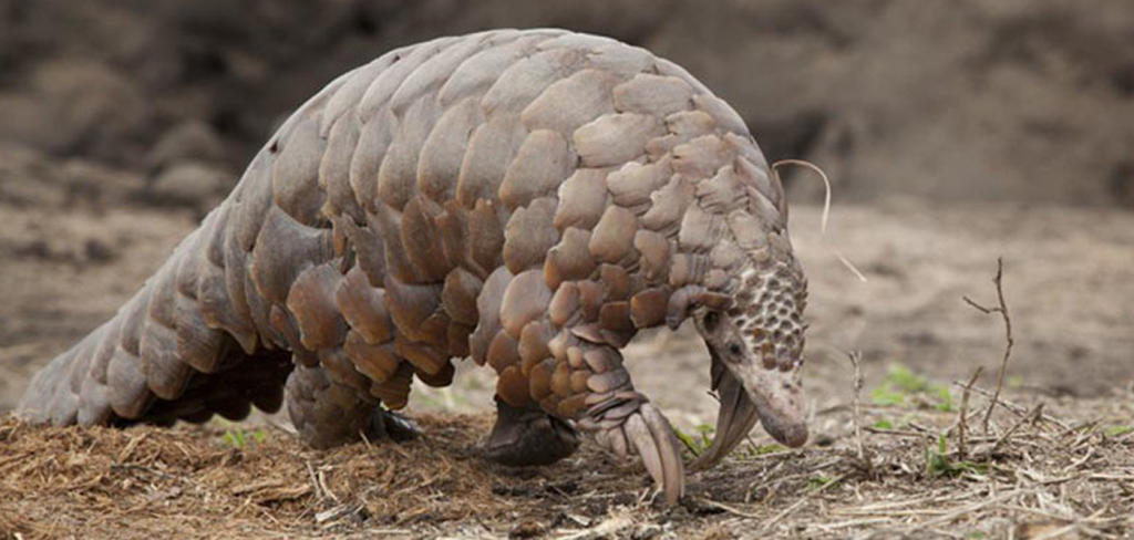 Dear Asia: Stop killing pangolins. Their extinction is around the corner. 1