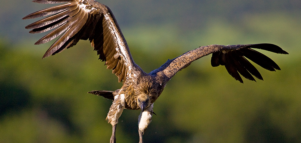 87 endangered vultures poisoned by poachers in Mozambique 4