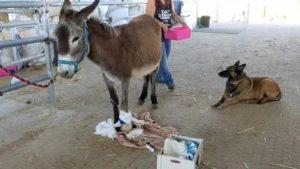 alfie the donkey is making a remarkable recovery