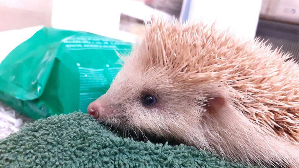 Little Blonde Bombshell: Rare Hog Boris Gets A Helping Hand