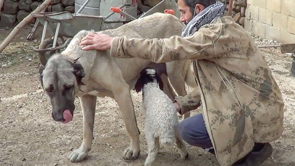 Kangal dog adopts orphaned lamb