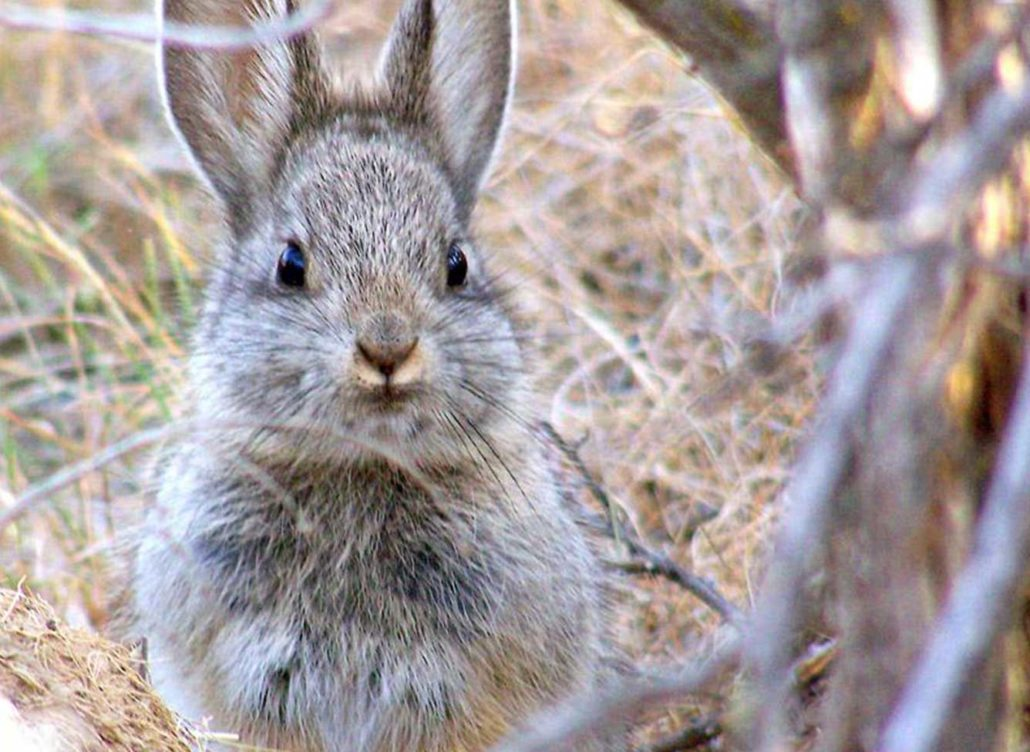 Tiny Pygmy Rabbits Face Extinction As Fires Rage On In The US 1