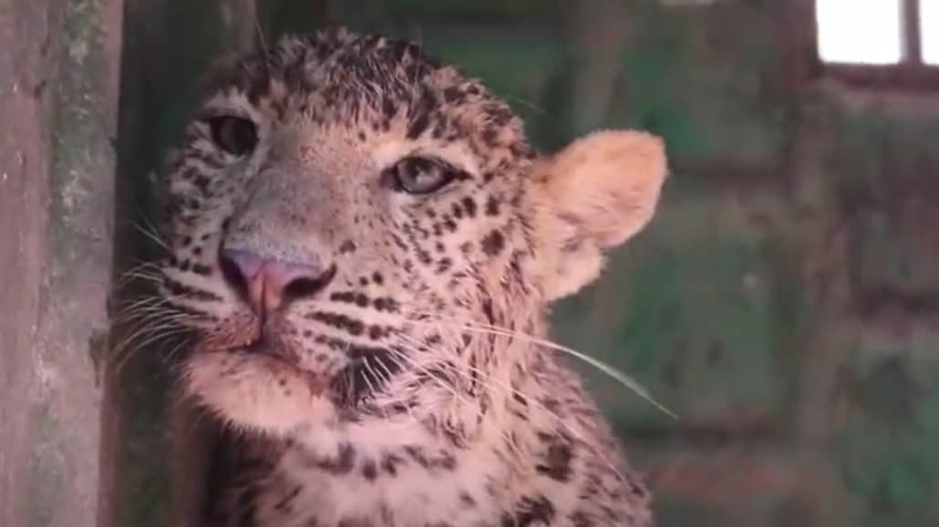 Trapped With Nowhere To Go - Wild Leopard Rescue Mission From 70-Foot-Deep Well 2