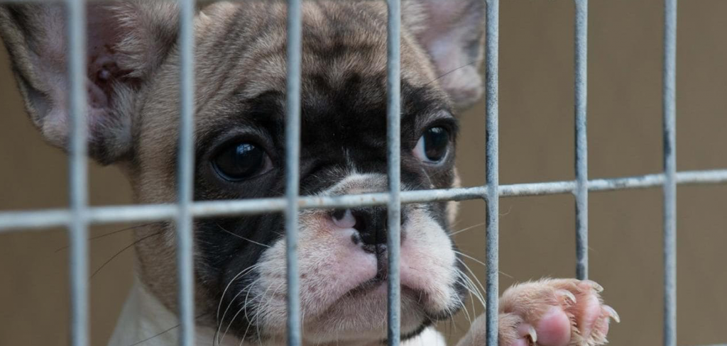 Pet shop sales ban could help to end the misery of the illegal puppy trade 9