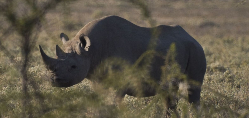 57 rhinos poached for their horns in Namibia 5