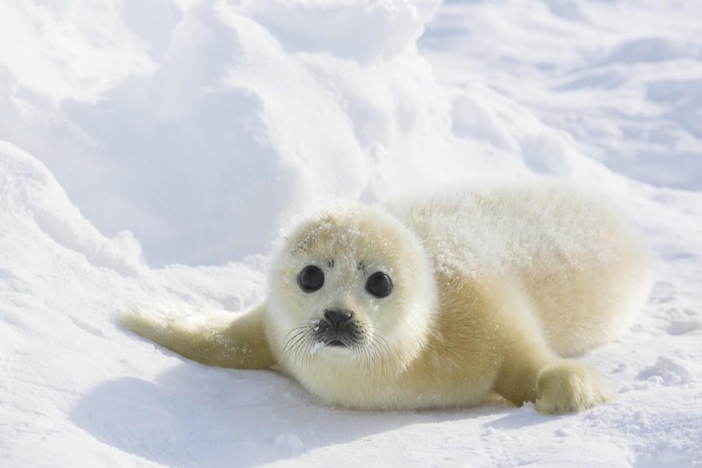 Harp Seal Field Report 4