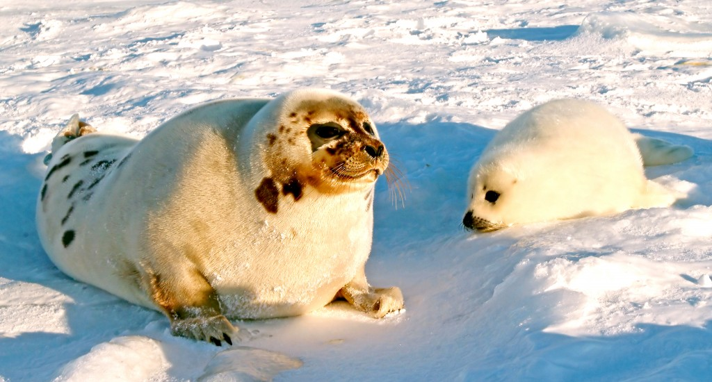 Save Seals: Find & Boycott Canadian Fish Products 3