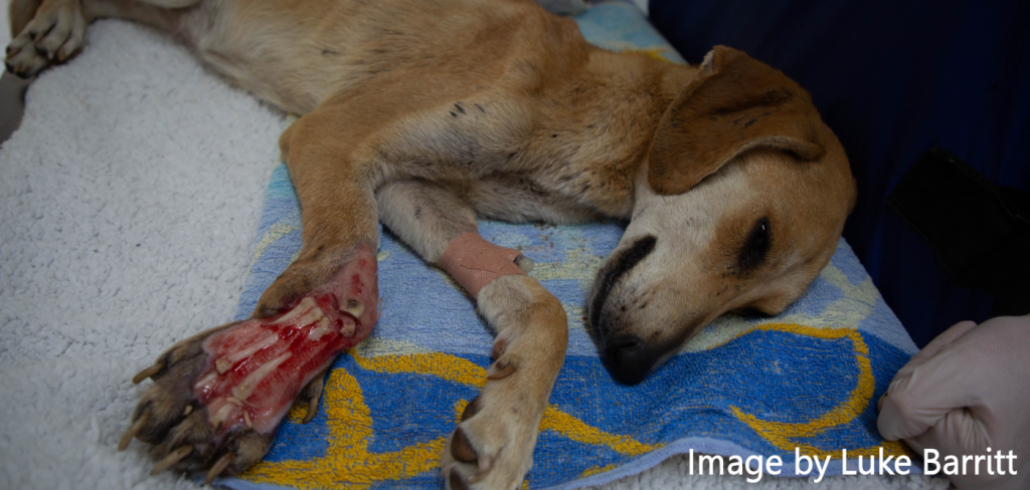 Network for Animals rescues dog run over for fun 10