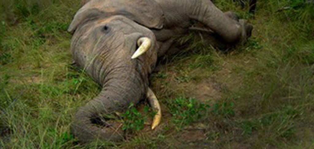 'Elephants need our protection, not our bullets'—NFA reacts to Trump's reversal of the decision to allow wildlife trophies from Africa 12
