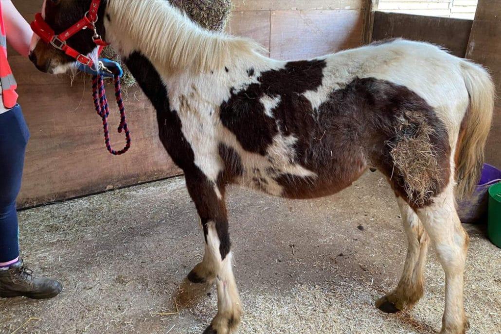 One of four rescued UK ponies dies of injuries 1