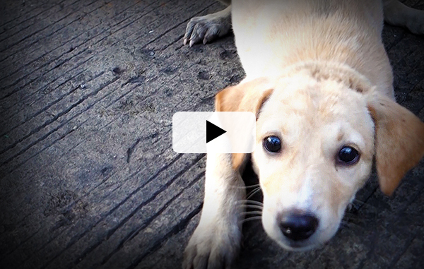 Video Introduction: Philippine Dog Meat Trade 11