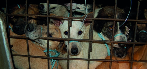 Fighting The Dog Meat Trade 1