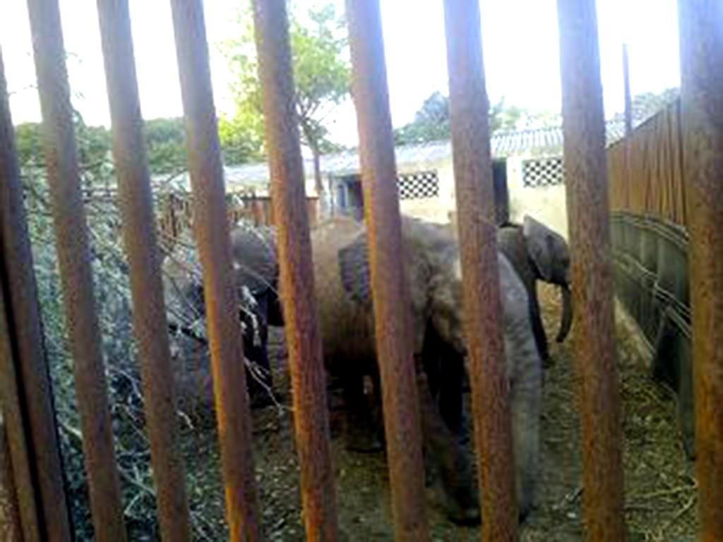 Zimbabwe Baby Elephants to Chinese Zoos Tomorrow? 4